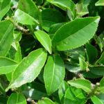 Чайный куст-листья