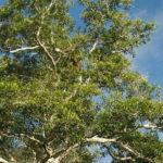 хинное дерево