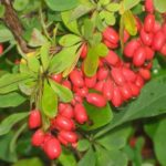 Барбарис амурский - плоды