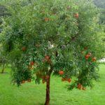 гранат дерево
