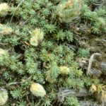 Камфоросма марсельская
