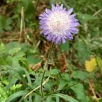 Короставник полевой