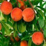 Персик обыкновенный