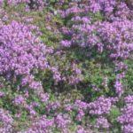 Богородская трава